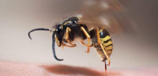 Wissenschaftler entdeckten neues Antibiotikum aus Wespengift
